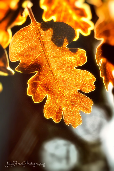 Autumn Colored Leaf by the Pond - Simple shot of a backlit leaf with water droplet bokeh in the background.  Big image but a tiny leaf, maybe an inch at most. Portrait Orientation - John Brody Photography / JohnBrody.com