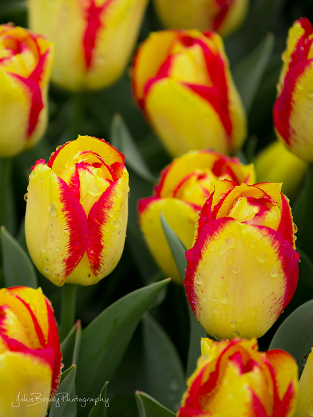 Another closeup at Keukenhof Tulip Gardens in South Holland in the small town of Lisse. A beautiful location a short drive southwest of Amsterdam - John Brody Photography - JohnBrody.com