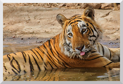 Pbbhhhttt | T-28 Star Male Tiger in an artificial water hole | Ranthambhore National Park, Rajasthan