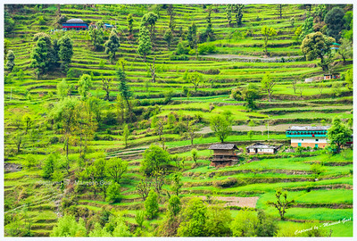 Waves of green ribbons. Traditional Himachali houses and fields in Banjar region, Tirthan Valley