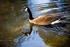 Goose Reflections - Middleton Plantation, Charleston South Carolina