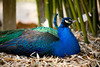 Peacock sitting below the bamboo - Middleton Plantation, Charleston South Carolina
