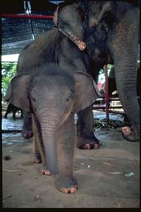 Ayuthaya Royal krawl baby Elephant, Thailand