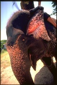 Ayuthaya Royal krawl riding a spotted Elephant, Thailand