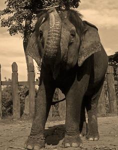 Ayuthaya, Elephant Royal Krawl sepia Thailand