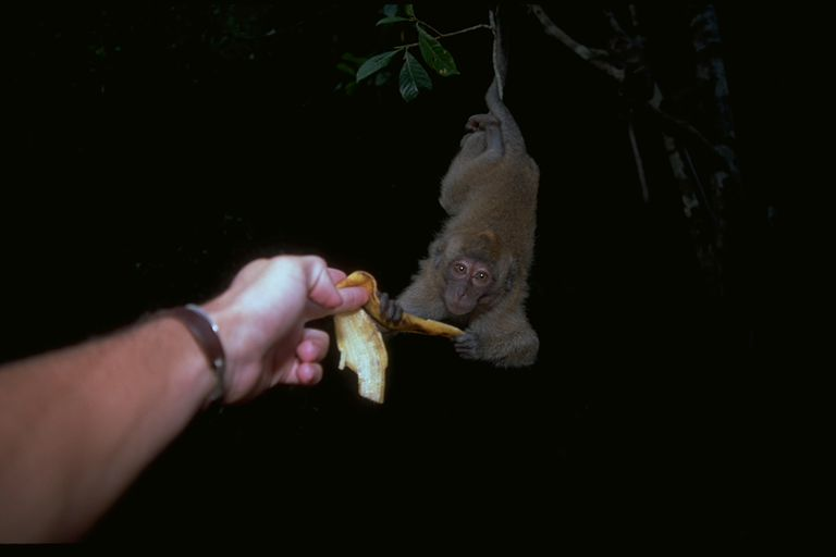 Young monkey grabs banana from me, Khao Lok National Park, Thailand