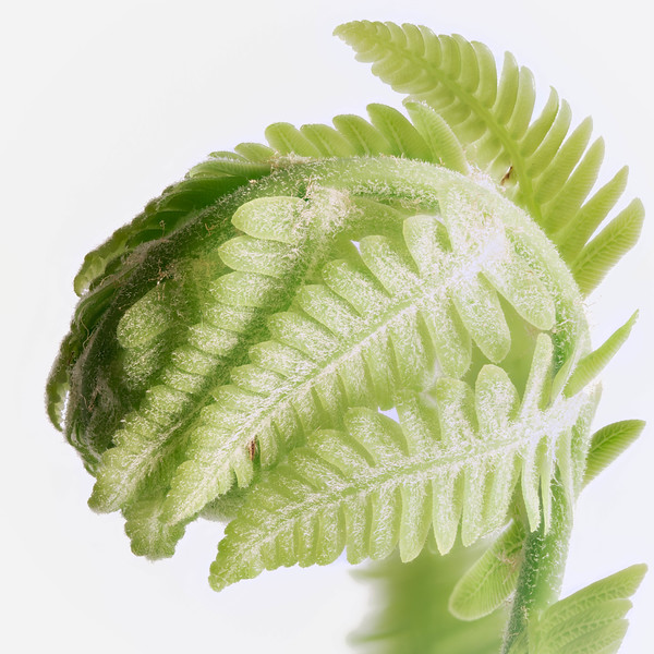 Ostrich Fiddlehead Feathers