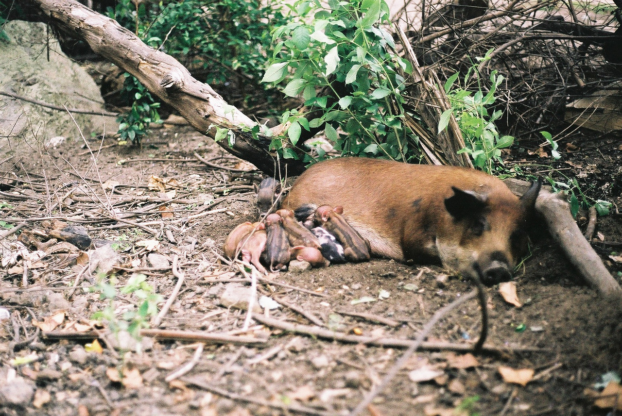 Wild pigs on the way to the village