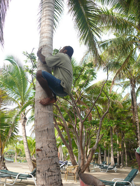 One of the band members demonstrated how they get the coconuts.
