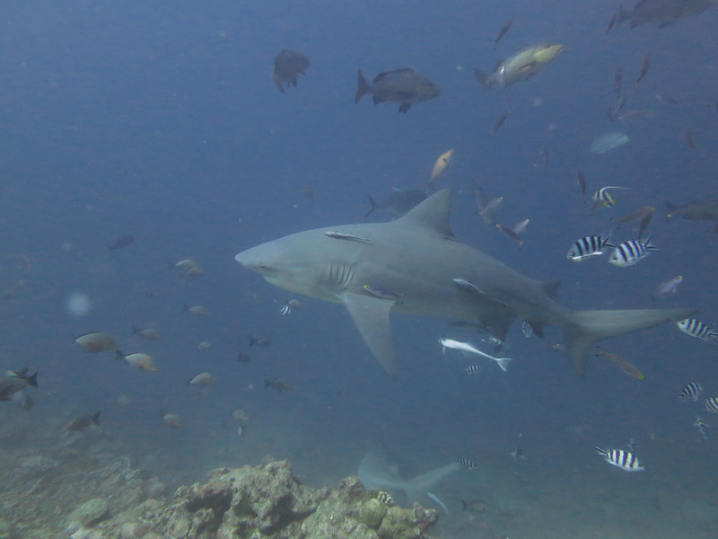 Ball Sharks.  Typically about 10 feet, 300 lb.<br /> Beqa Island, Fiji