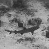 White-tip Reef Shark