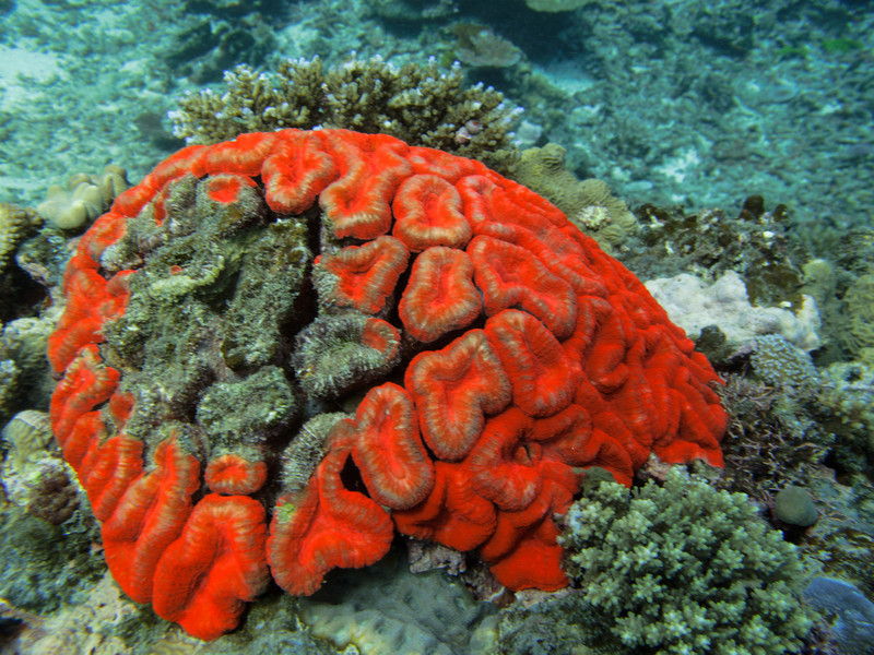 Red brain coral