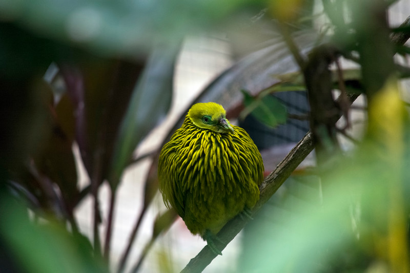 Golden Fruit Dove (Ptilinopus luteovirens)
