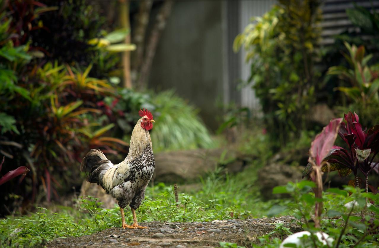 Free range Rooster