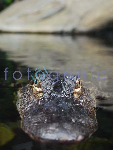 Baby crocodile, Georgia Acquarium, Atlanta, Georgia