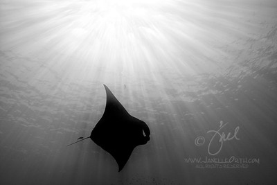 Manta Ray BW  ©2017  Janelle Orth