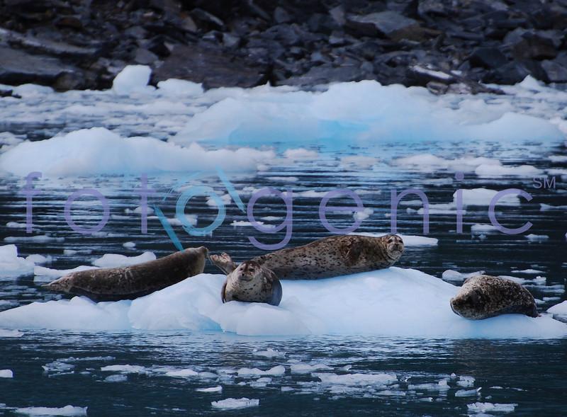 Harbor seals, Prince William Sound, Alaska