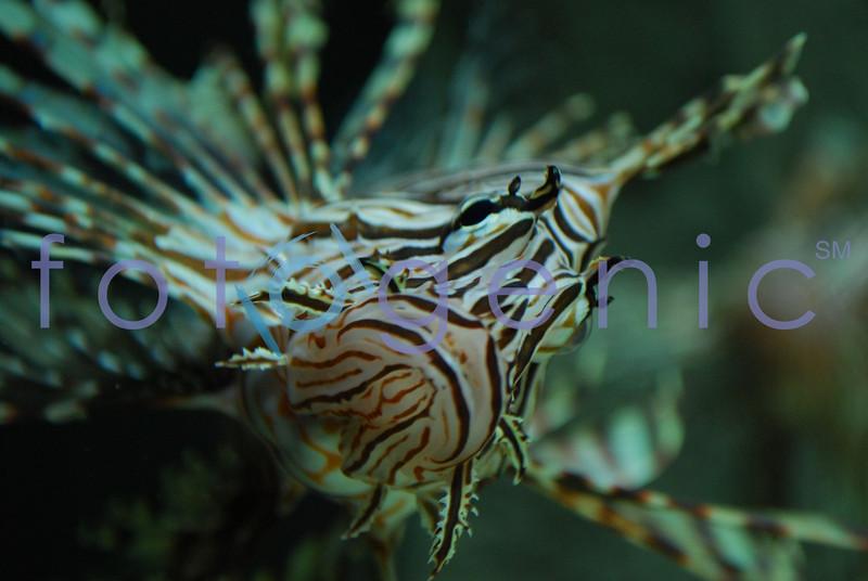 Lion fish, Georgia Acquarium, Atlanta, Georgia