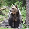 Eurasian Brown Bear (female)