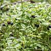 Bilberries -- not Blueberries