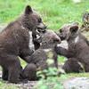 Eurasian Brown Bear Cubs