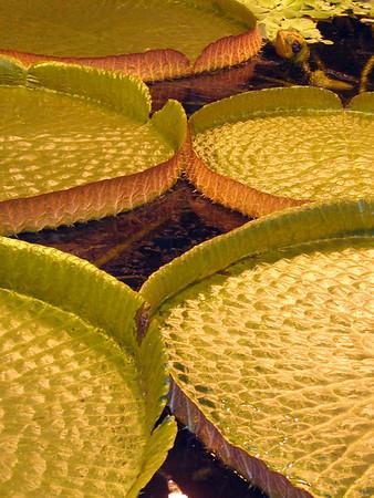 Lily pads: Helsinki Botanic Gardens