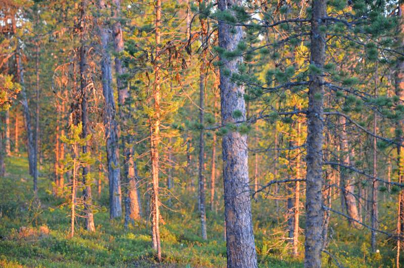 Finnish forest at midnight