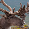Reindeer (Rangifer tarandus) a.k.a. Caribou