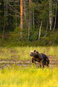 The bears of the birch forest, Finland (3).  After a long afternoon wait in the hide, finally the big she-bear appeared, accompanied by her three cubs. They were born the same year in January, as my guide told me. It was a hot August evening in the Finnish taiga, in the Russian border that is famous because there it inhabits the mythical brown bear. So hot, and with an air so still, that our human stench flooded the area, so when from the birch forest finally appeared this family of bears, the mother sniffed the air and waved to its offspring that they had careful not to turn away from her. It was very exciting. So we took extreme caution making as little noise as possible and enjoyed watching the cubs playing on the glade. Kuusamo, Oulu. Finland.