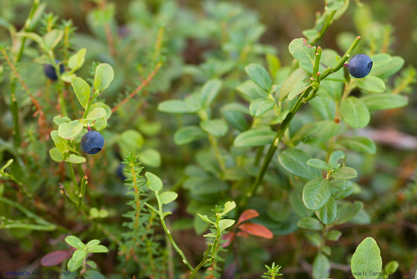 Blueberries. Lots of them in the Finnish wilderness. It's hard to die of starvation if you get lost in Finland !.