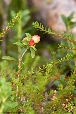 Wild berries and triangle.   Finland.