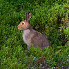 European Hare (Lepus europaeus) or Brown Hare