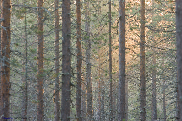 Taiga forest (2). Finland.