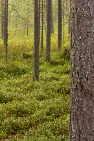 Taiga forest (1). Finland.