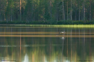 Lesser Black-backed gull over a lake.  Hossänjarvi, Oulu. Finland.