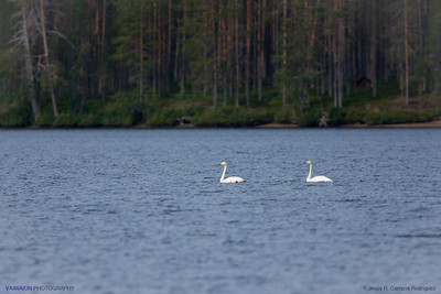 whooper swans in the lake.   Hossänjarvi, Oulu. Finland.