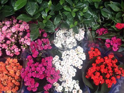 Firenze Flowers