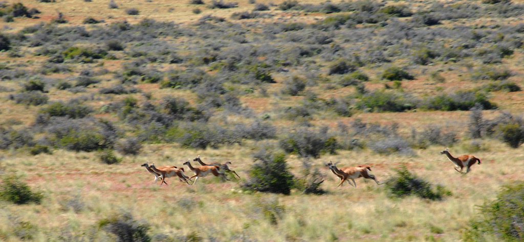 Wild Guanacos- Llamas, alpacas, guanacos and vicunas are collectively known as New World Camelids