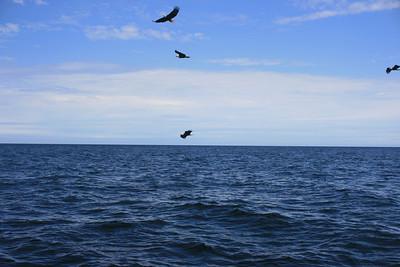 Eagles feeding on bait fish.