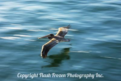 San Diego, California California Brown Pelican