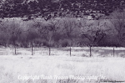 Cottonwood Trees in Winter, Los Luceros, New Mexico