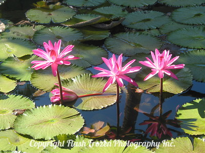 Water Lillies Papeete, Tahiti, French Polynesia 2005