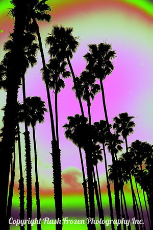 California Palm Trees, Santa Barbara, California