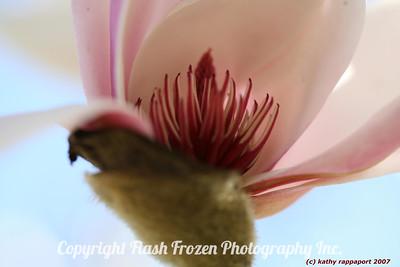 Pink Magnolia 2007