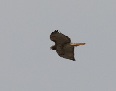 A hawk hunting for food over Mahoney State Park