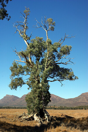 The Cazneaux Tree today.