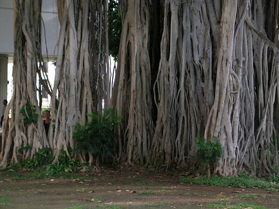 A gnome in the left hand corner of the Banyan tree