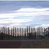 Lombardy poplars near Bologna,