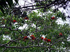 <b>Coral Tree</b> <i>(Erythrina lysistemon)</i> (April 7, 2006)