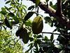 Jackfruit <i>(Artocarpus heterophyllus or A. heterophylla)</i> (April 7, 2006)